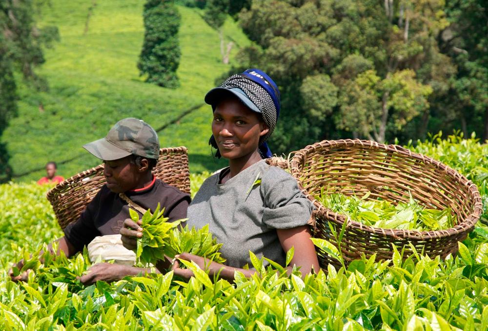Кения увеличит производство чая