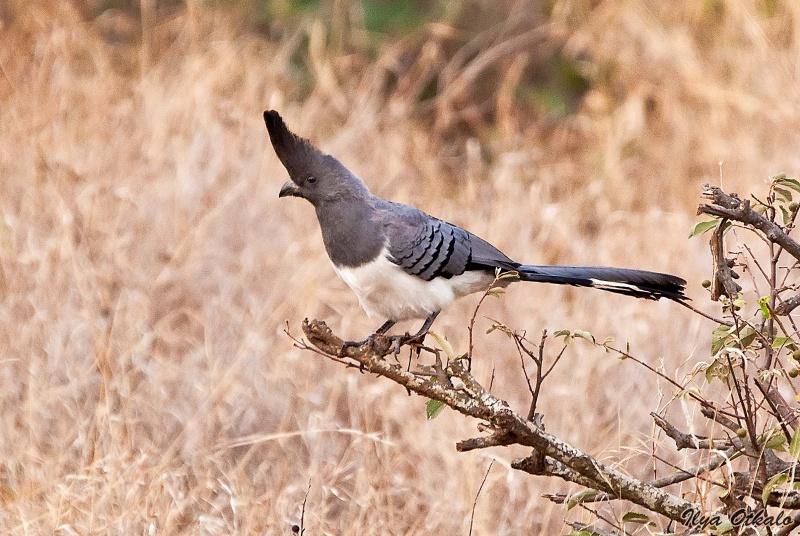 Национальный парк Амбосели в Кении. Птицы.