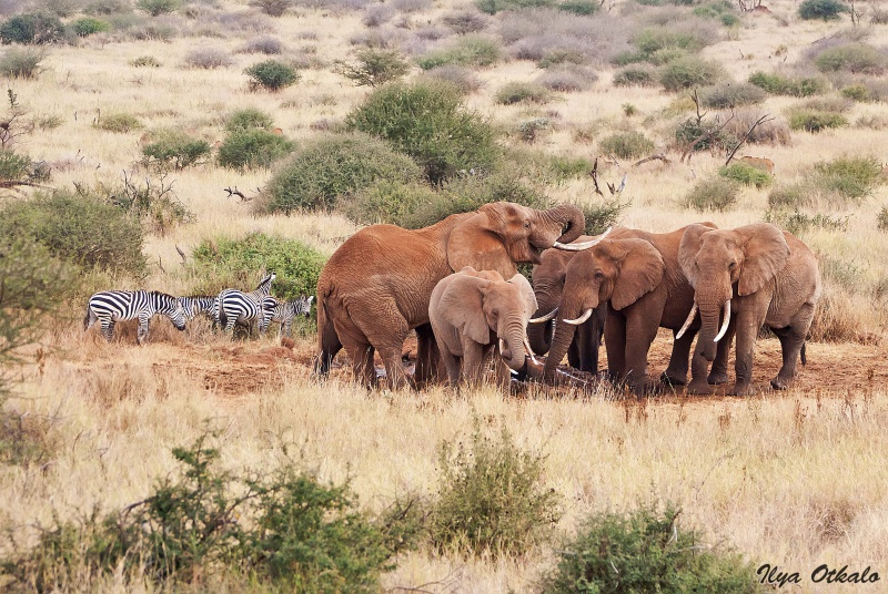 Национальный парк Амбосели в Кении. Слоны и зебры.