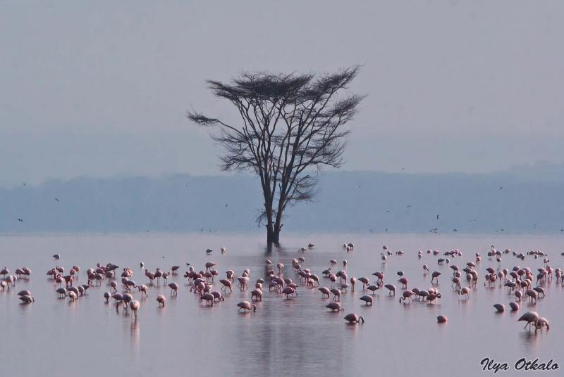 Фламинго в Озере Накуру, Кения