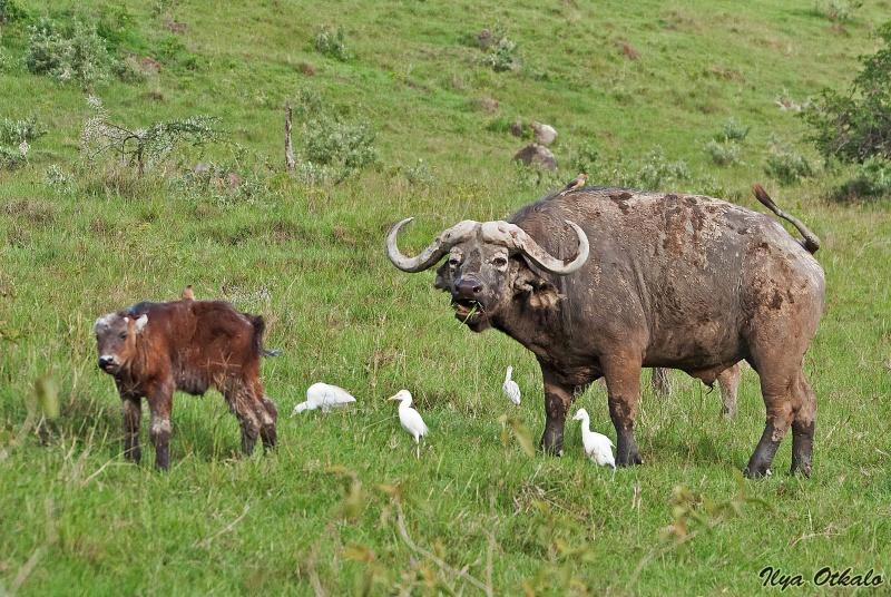 Буйволы у Озера Накуру, Кения