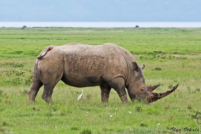 Носороги у Озера Накуру, Кения