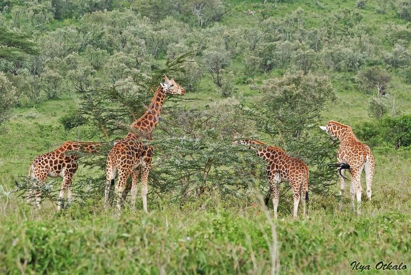 Угандийские жирафы у Озера Накуру, Кения