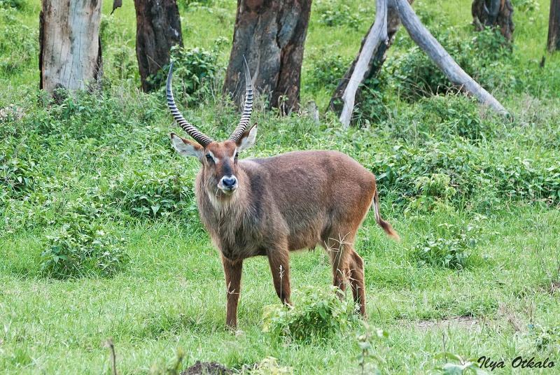 Водяной козел у Озера Накуру, Кения
