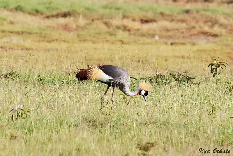 Венценосный журавль у Озера Накуру, Кения