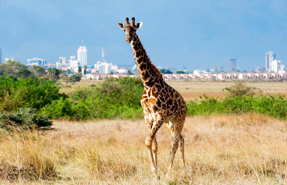 Жираф на фоне небоскребоа