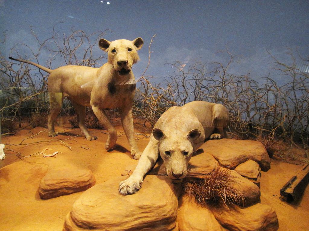 Чучела львов-убийц