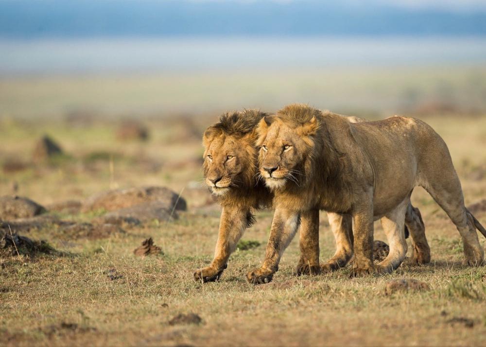 Львы-убийцы из Цаво