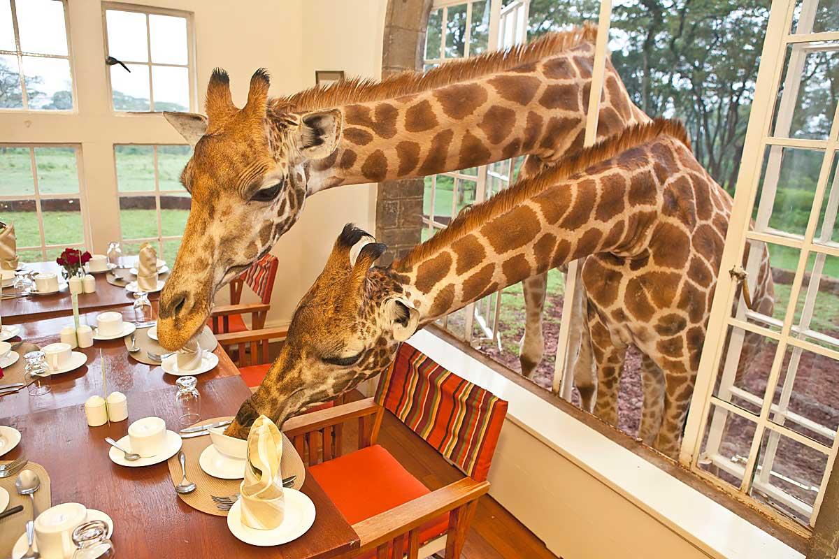 Жираф заглядывает в окно