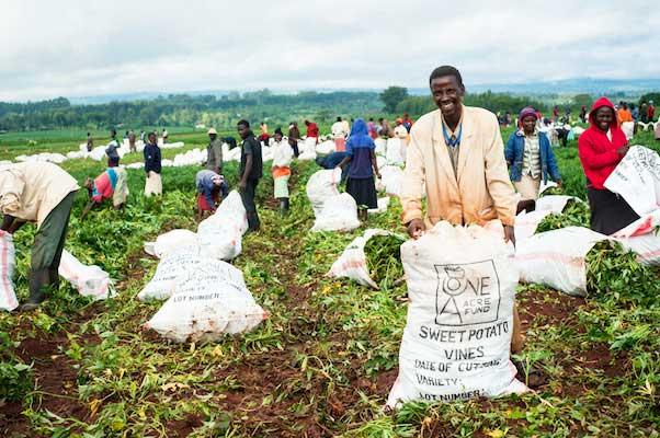 Племя Кисии собирает урожай