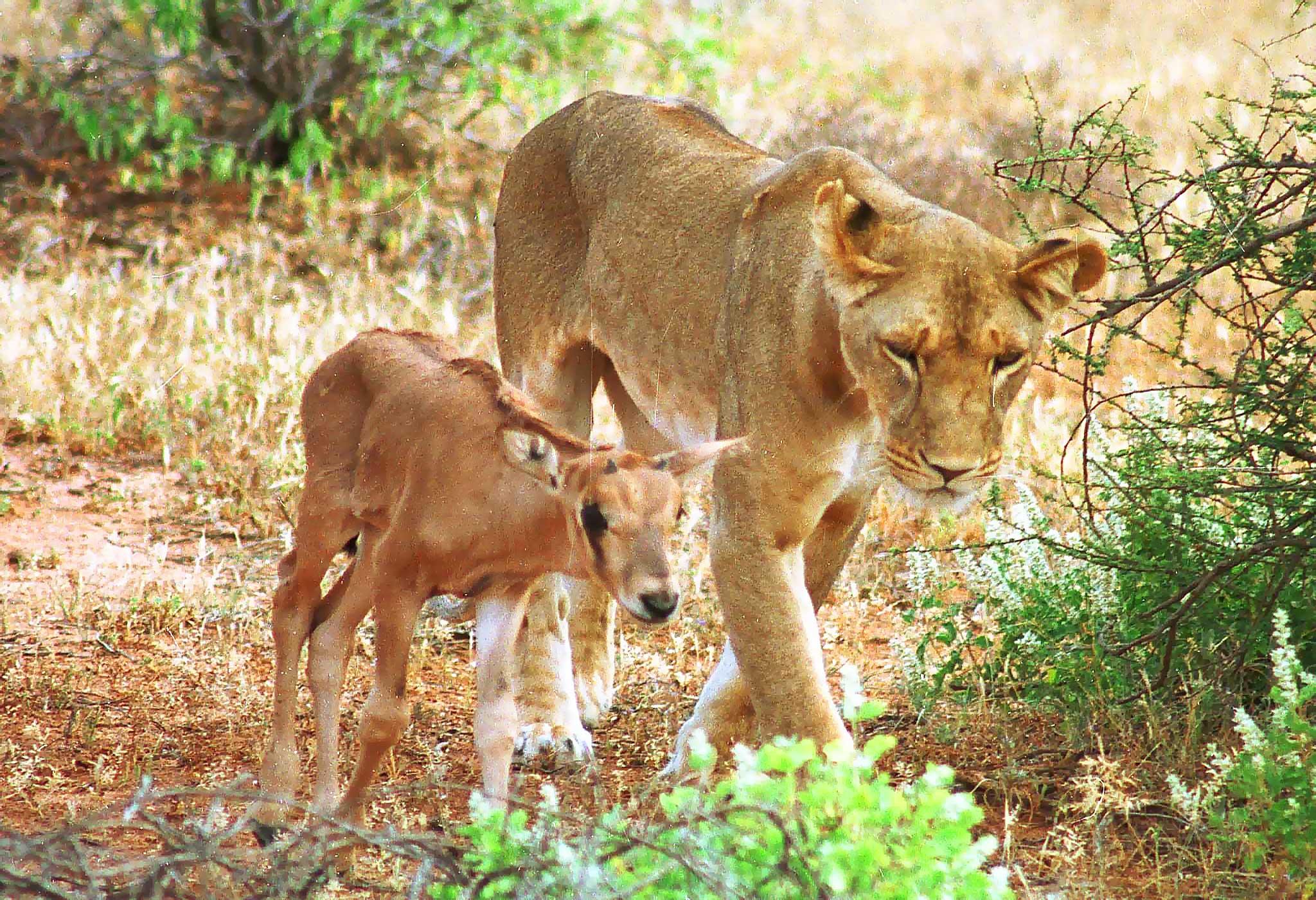 Львица Камуньяк с антилопой