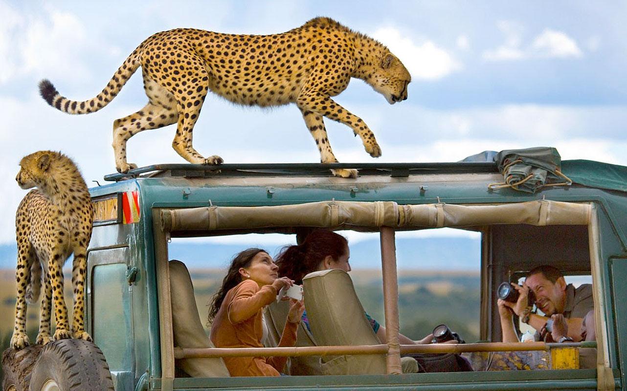 Гепард на крыше машины