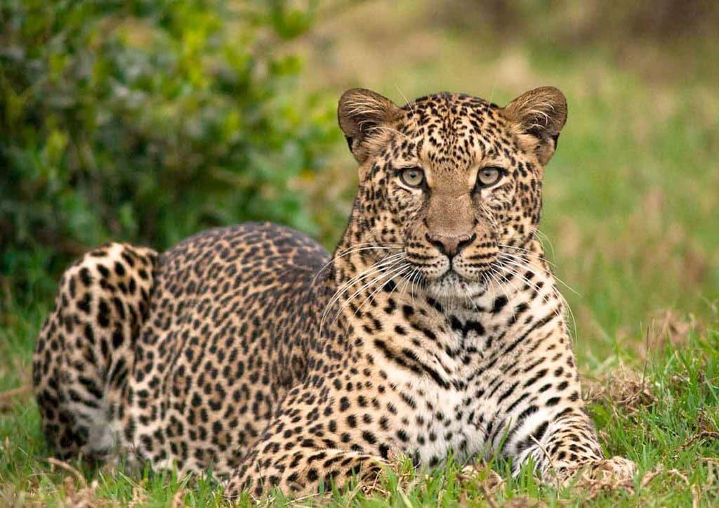 Леопард в Абердаре, Кения