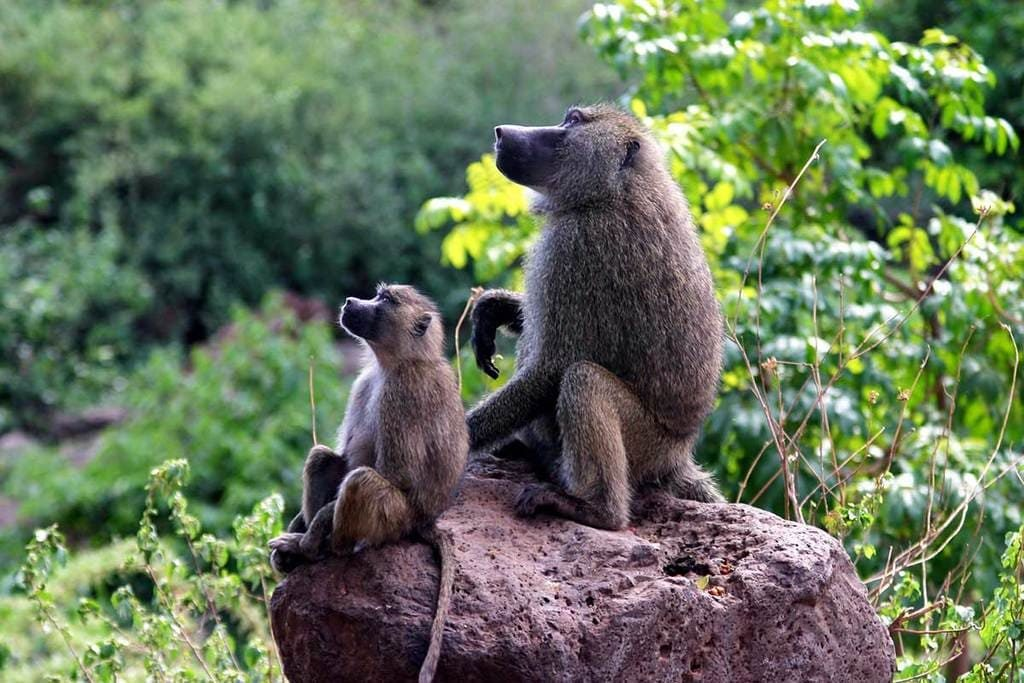 Бабуины Африка