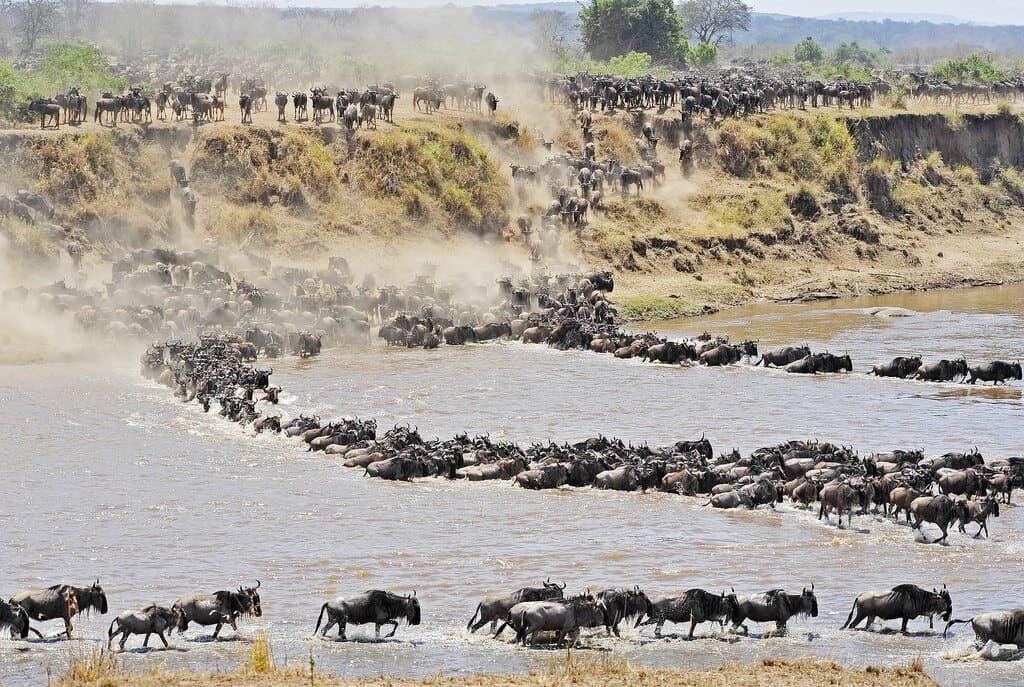 Бизоны Африка