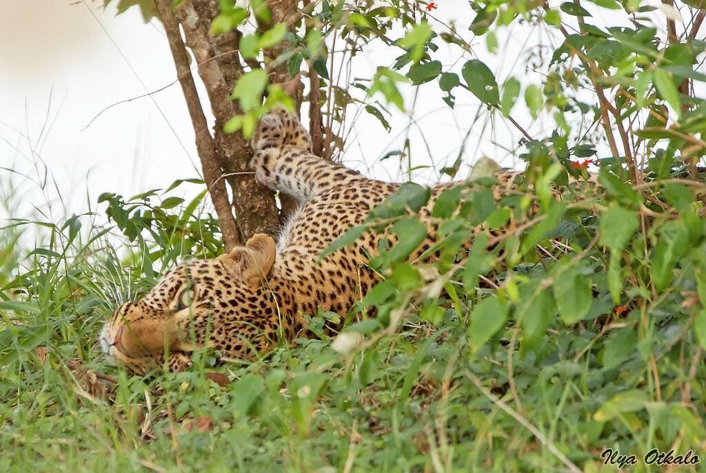 Леопард животные Африки