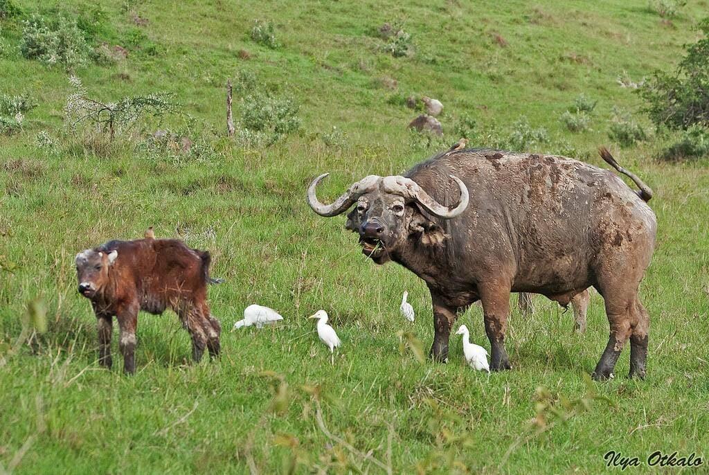 Животные Африки - буйвол
