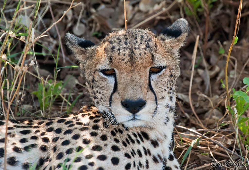 Гепард Африка