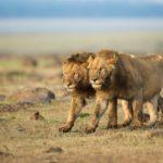 Призрак и Тьма — кровожадная легенда Кении