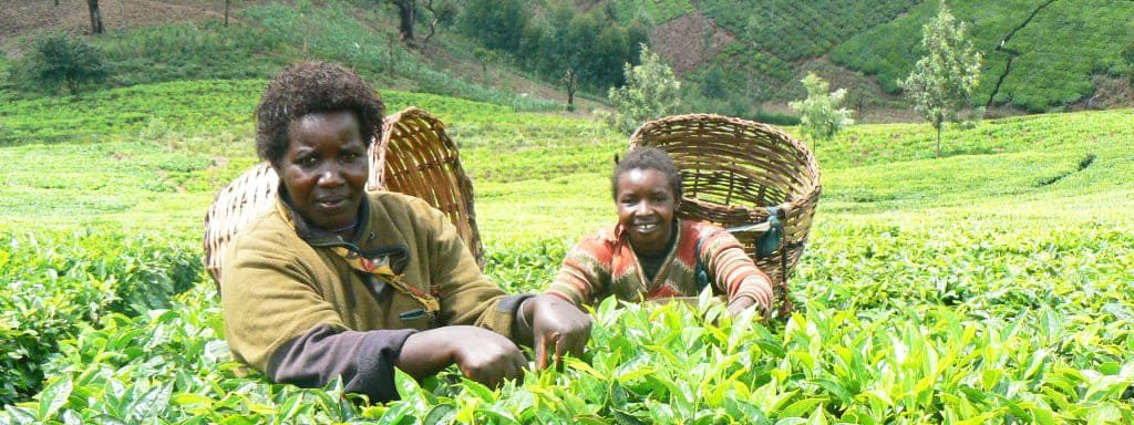 Меру на плантации кофе
