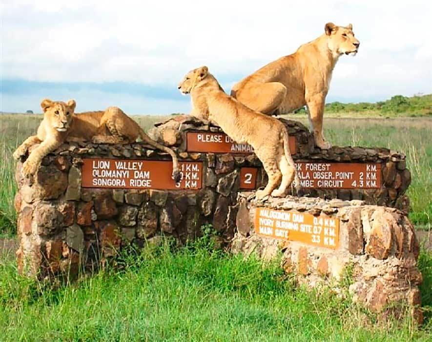 Лев Африка