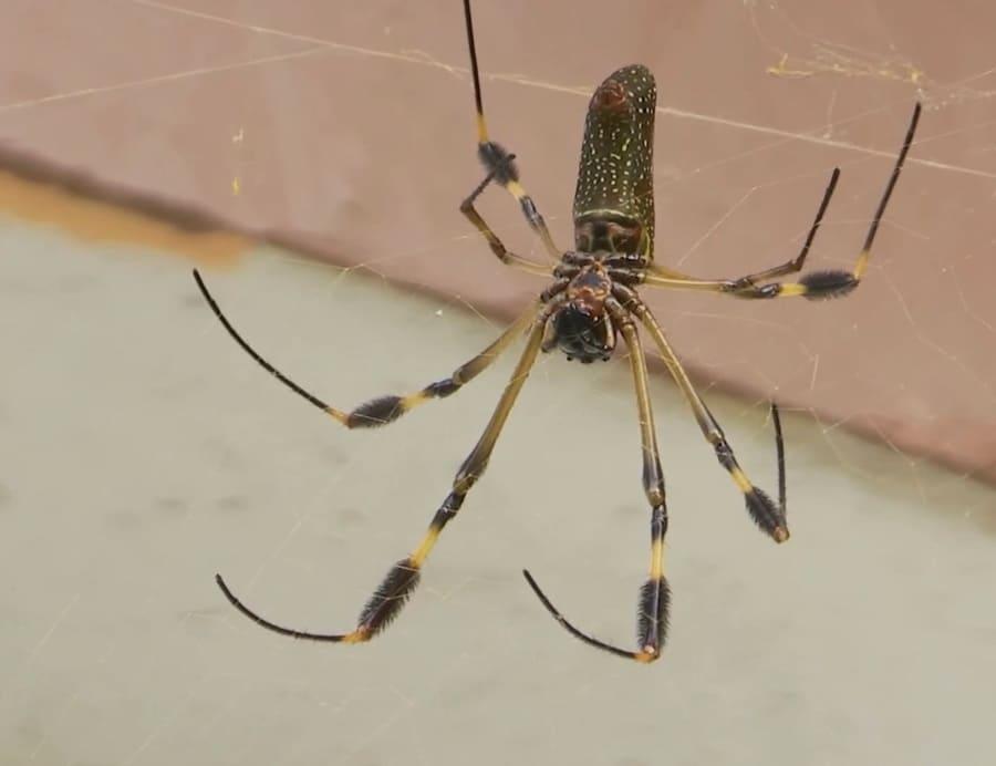 Бразильский странствующий паук (банановый паук)