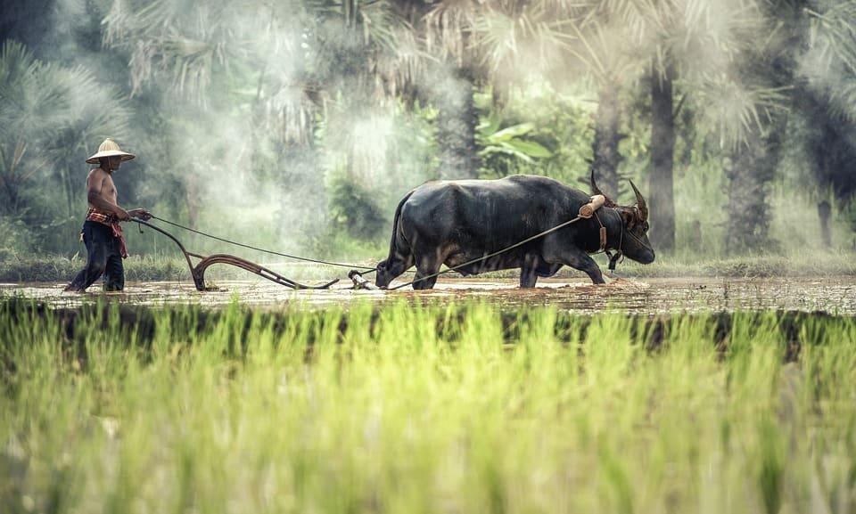 буйвол