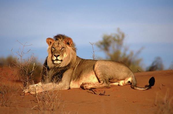 Конголезский африканский лев