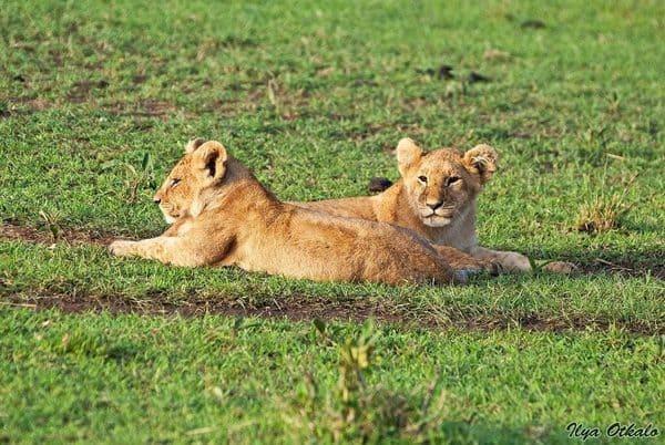 Львята отдыхают