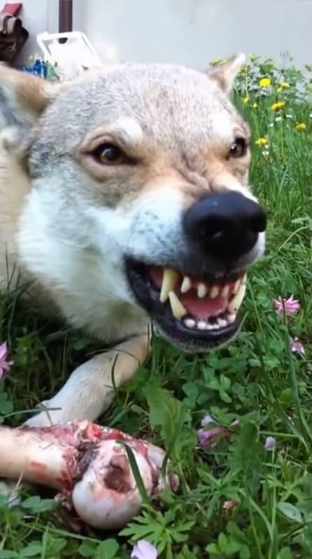 Опасная собака