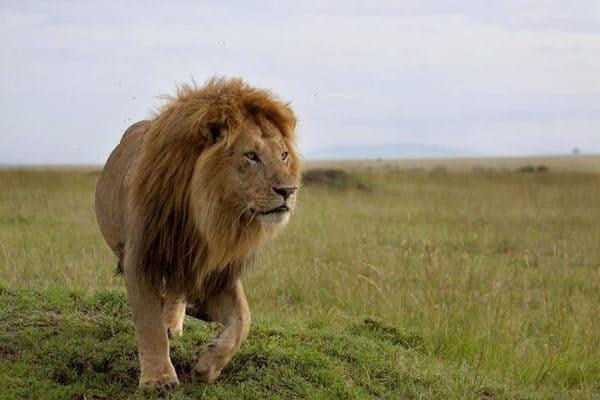 Юго-западный лев