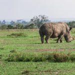 Белый носорог — вымирающий вид