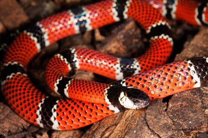 Ядовитая змея арлекиновый аспид