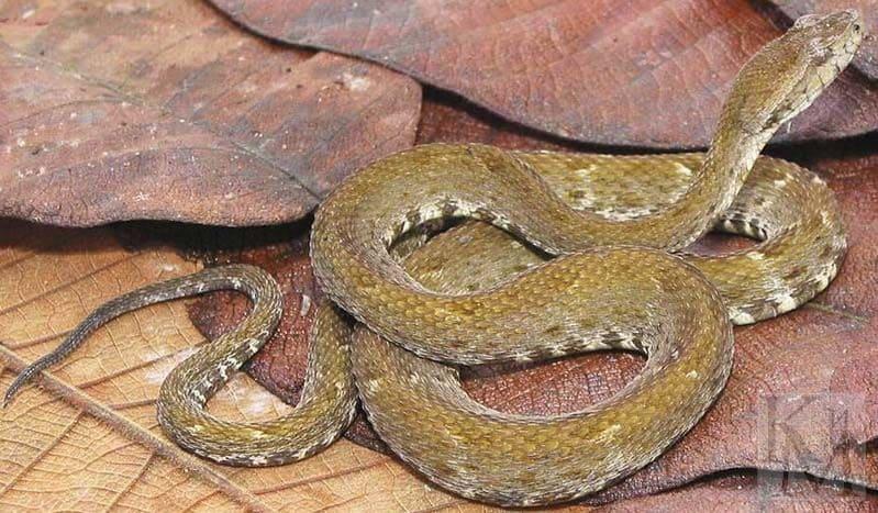 Ядовитая змея лабария