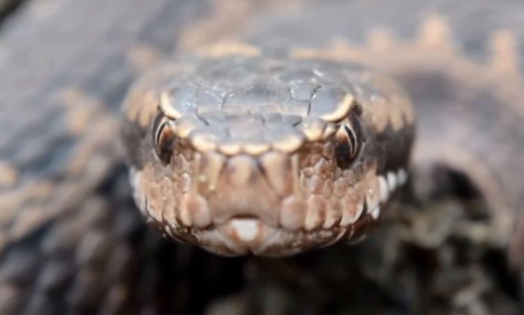 Ядовитая змея Эфа