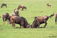 <p>Кения, Масаи Мара. Антилопы Гну</p>