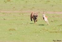<p>Кения, Масаи Мара. Гиена догоняет антилопу Томпсона</p>