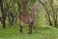 <p>Кения, Масаи Мара. Водяной козел</p>