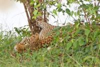 <p>Кения, Масаи Мара. Леопард</p>