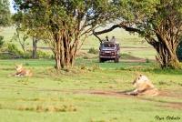 <p>Кения, Масаи Мара. Львы на дороге</p>