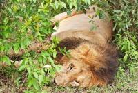 <p>Кения, Масаи Мара. Лев отдыхает</p>