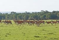 <p>Кения, Масаи Мара. Стадо антилоп</p>