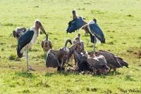 <p>Кения, Масаи Мара. Птицы - падальщики, грифы и марабу</p>