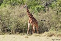 <p>Кения, Масаи Мара. Жираф</p>