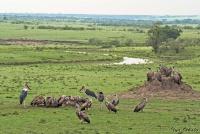 <p>Кения, Масаи Мара. Пабальщики, грифы и марабу над добычей</p>