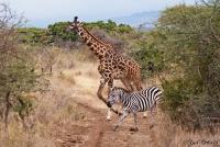 <p>Кения, Амбосели. Зебра и жираф переходят дорогу</p>