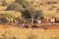 <p>Кения, Амбосели. Антилопы на водопое</p>