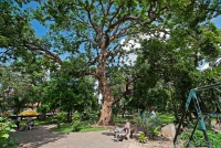 <p>Кения, Момбаса. Дерево с летучими мышами</p>