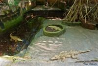 <p>Кения, Момбаса. Крокодилы в Халлер парке</p>
