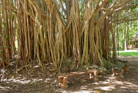 <p>Кения, Момбаса. Деревья Халлер парка</p>